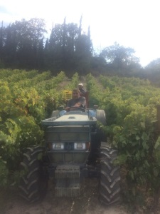Bizios Estate Nemea - Harvesting - Wimbledon Wine Cellar